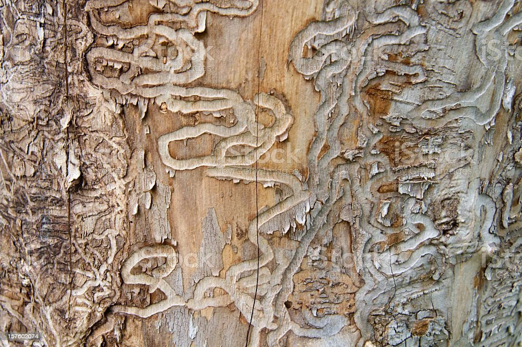 Emerald Ash Borer Traces on a Dead Tree Trunk stock photo
