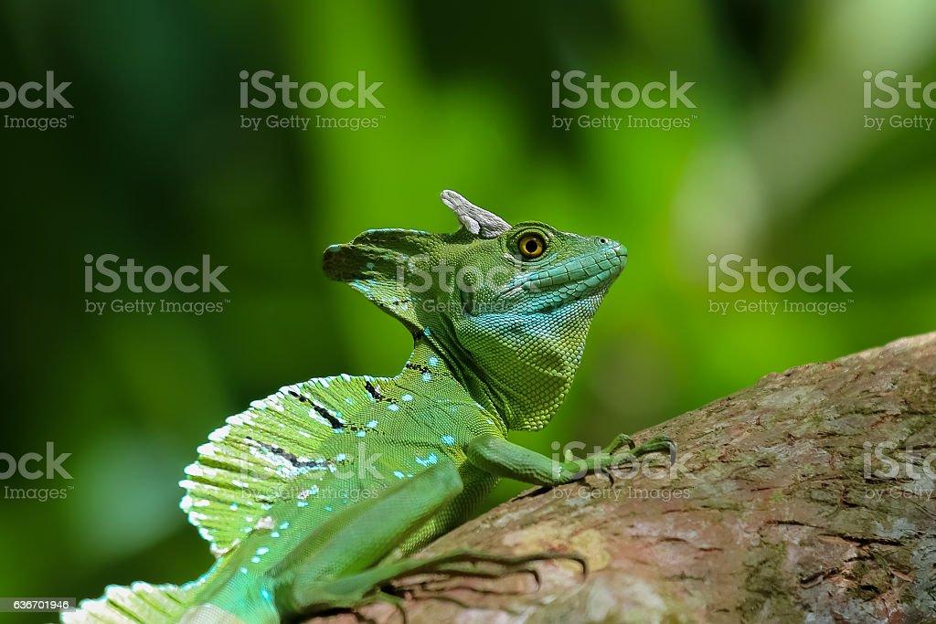Emerald basilisk in Costa Rica stock photo