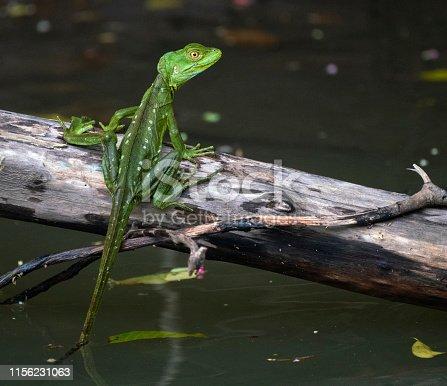 Emerald basilisk sitting on a log in the river