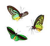 Emerald Birdwing butterfly from Indonesia Green Isolated On White