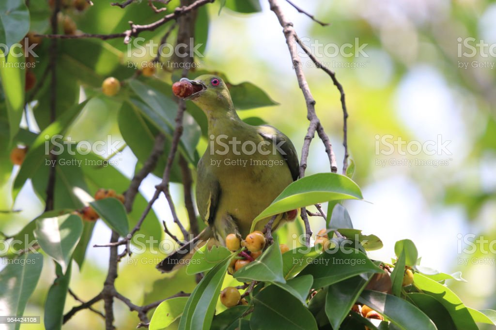 Emerald Dove holding on branch bird green color in nature background...