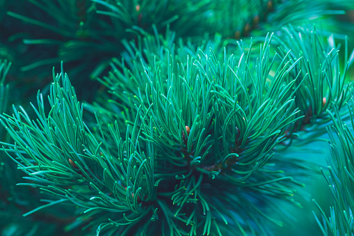 Emerald forest background of pine tree branches for Christmas and New Year design. Natural green coniferous background
