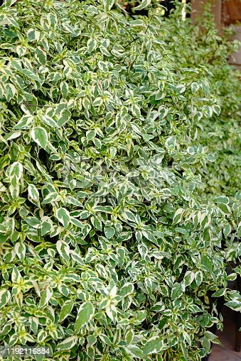 Euonymus fortunei emerald gaiety green