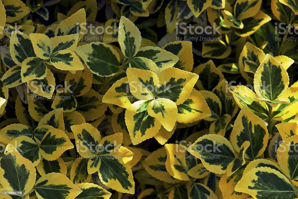 Emerald gold (Euonymus fortunei) stock photo