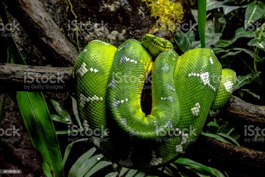 Emerald Green Boa coiled on branch – zdjęcie