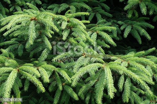 Emerald green foliage of spruce in early June