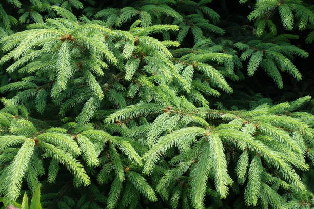 emerald green foliage of spruce in early june - spruce tree stock pictures, royalty-free photos & images