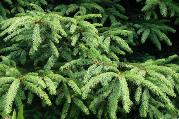 smaragd gröna blad av gran i början av juni - gran bildbanksfoton och bilder