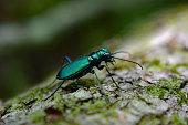 Emerald Green Tiger Beetle on Fallen Tree