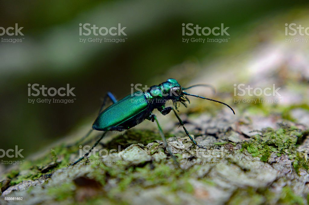 Emerald Green Tiger Beetle on Fallen Tree stock photo