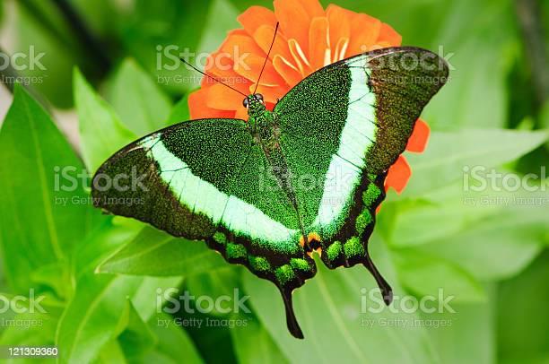 Emerald swallowtail picture id121309360?b=1&k=6&m=121309360&s=612x612&h=oayz g6gddvivsmvwn0dncydrko0wr6nq8kutdj7fa0=