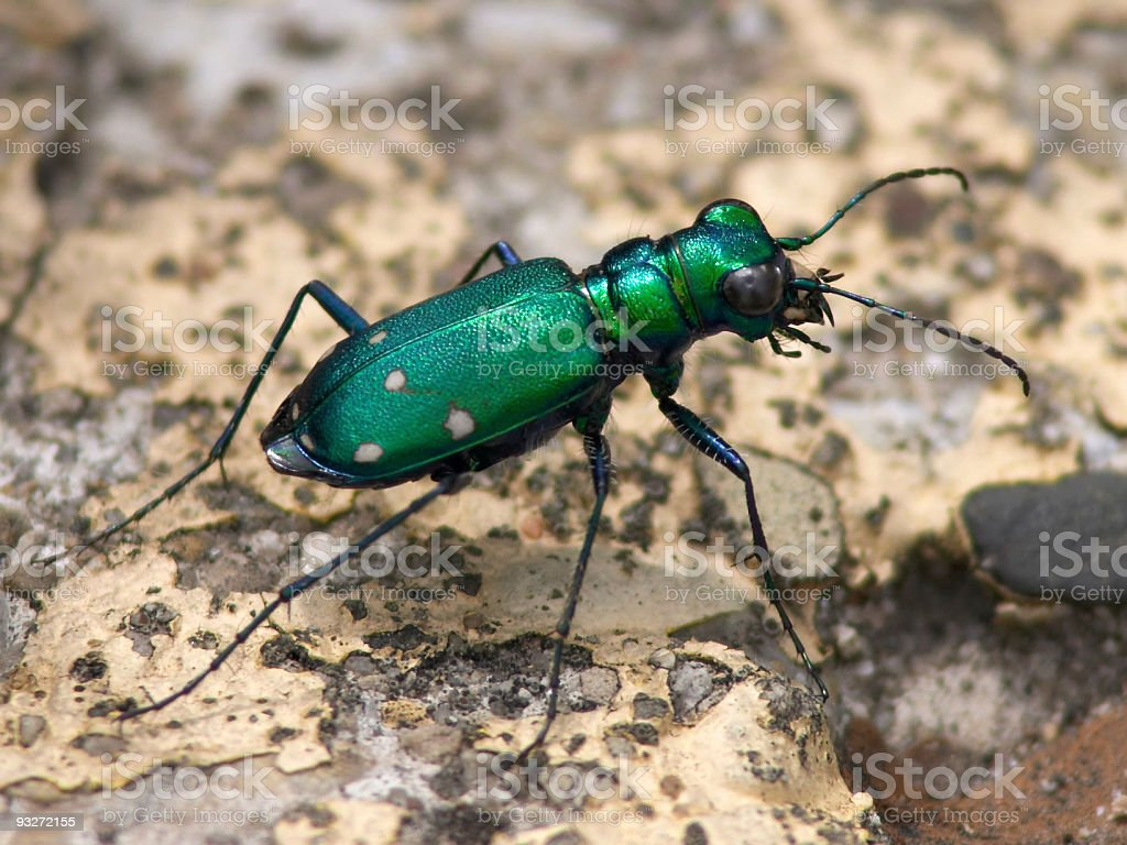 Emerald Tiger Beetle royalty-free stock photo
