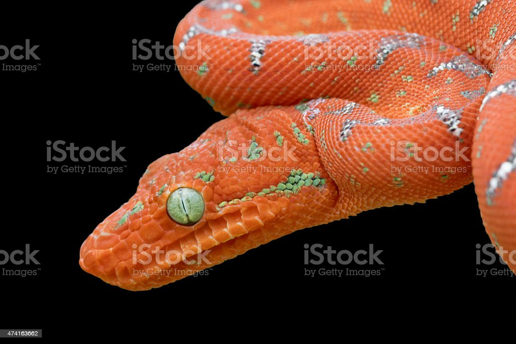 Emerald tree Boa (Juvenile Red Phase) Isolated on Black royalty-free stock photo