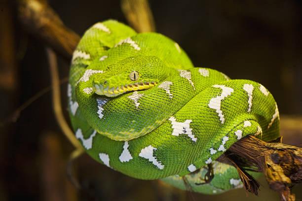 Risultati immagini per boa arboricolo smeraldino