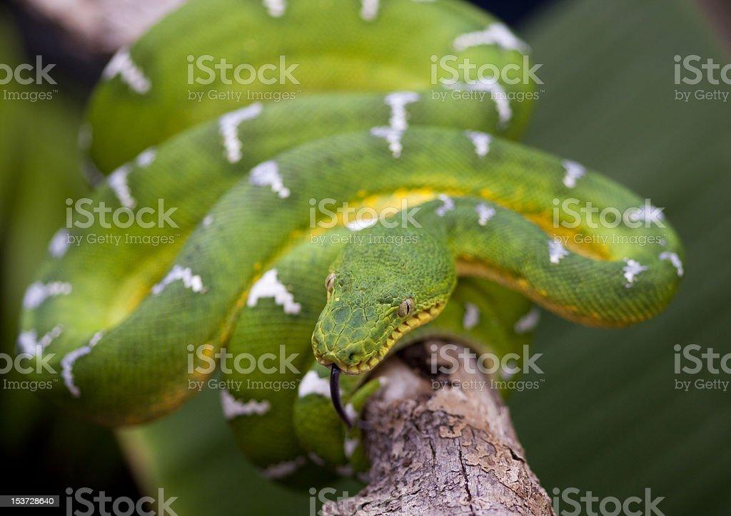 Emerald Tree Boa royalty-free stock photo