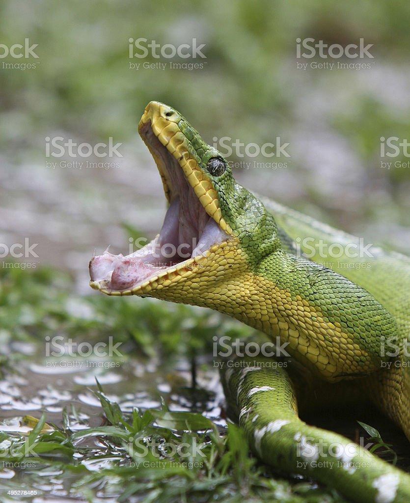 Emerald Tree Boa Stock Photo & More Pictures of Animal | iStock