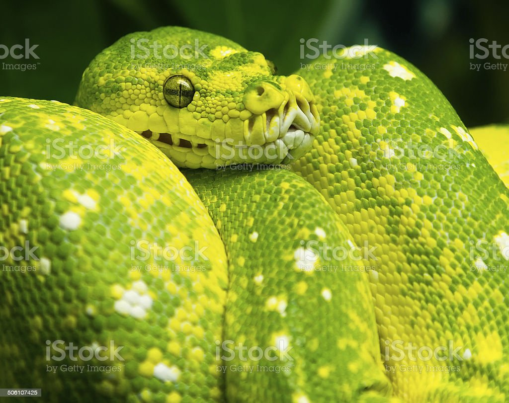 Emerald Tree Boa Stock Photo & More Pictures of Alertness | iStock