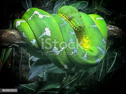 Emerald tree boas are found in lowland tropical rainforests in the Amazonian and Guianan regions of South America.