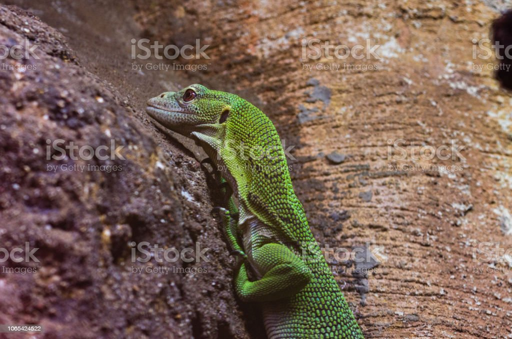 Emerald Tree Monitor stock photo