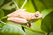 A stunning emerald eyed tree frog with piecing eyes sat on a leaf in its lighter skin tone