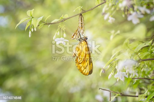 Emerged yellow coster butterfly ( Acraea issoria ) with chrysalis shell hanging on white flower twig , growth , metamorphosis