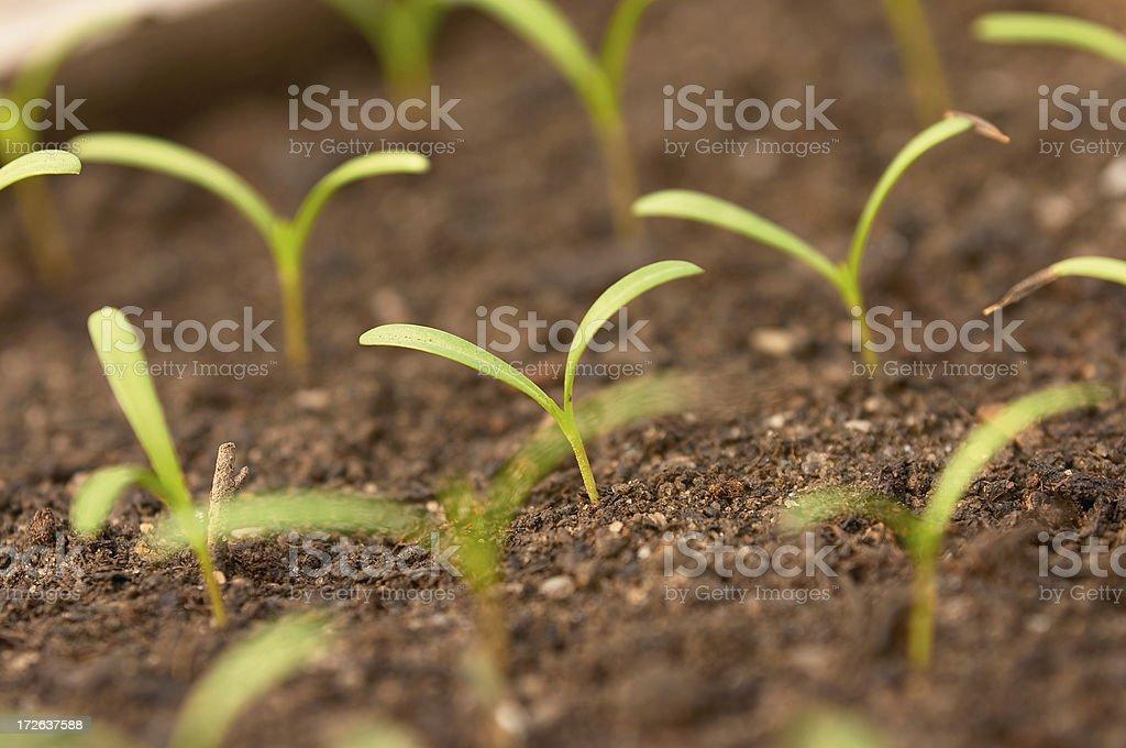 Emergent Seedlings stock photo