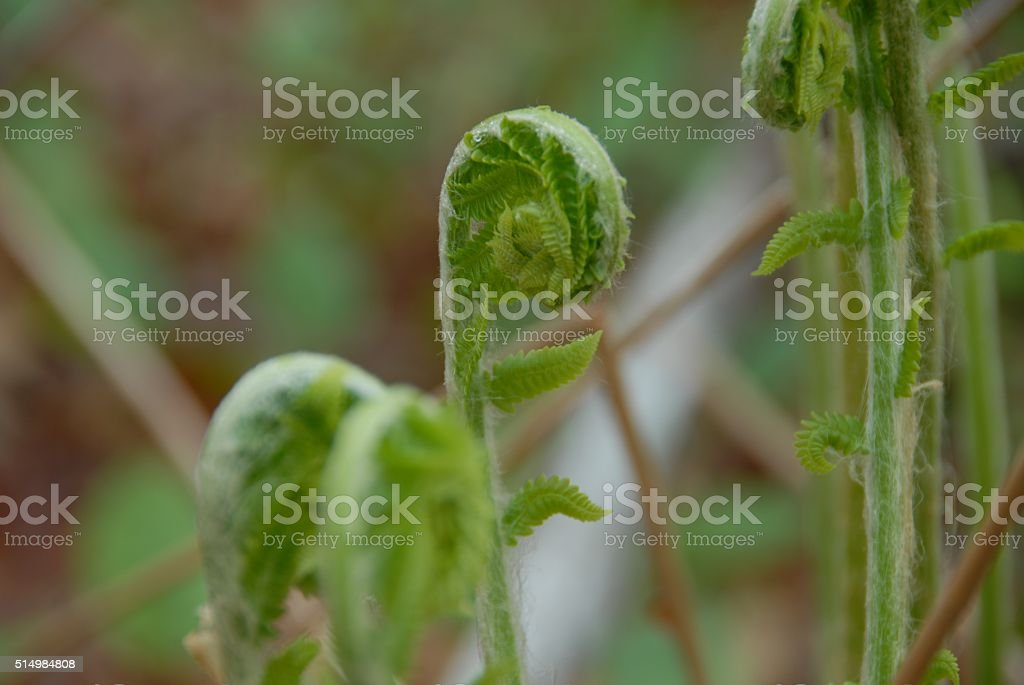 Emerging Fern Frond stock photo