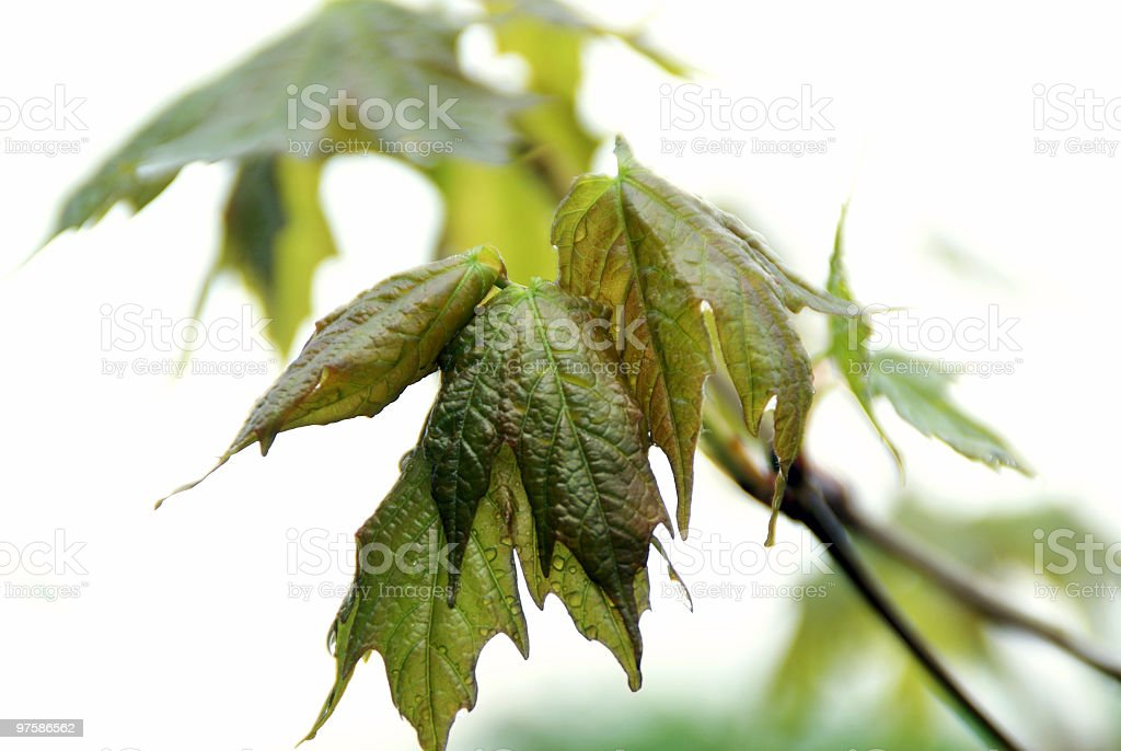 Emerging Maple Leaves with rain drops royalty-free stock photo