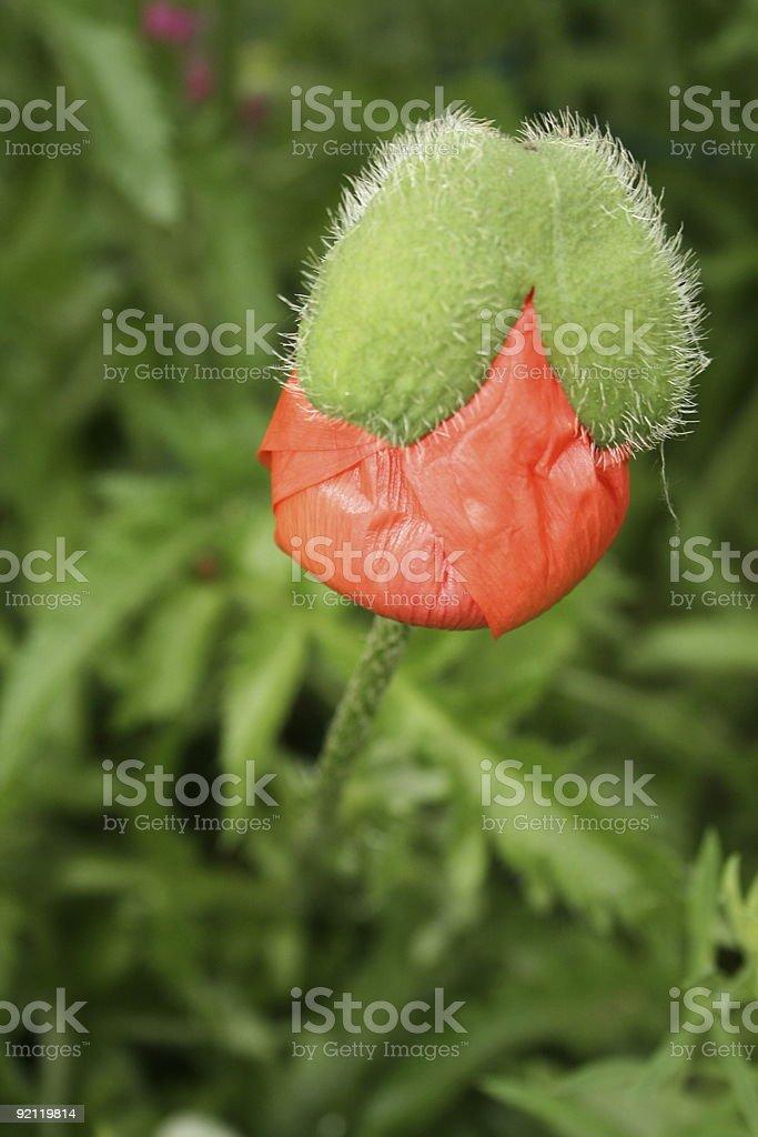 Emerging Oriental Poppy in Spring royalty-free stock photo