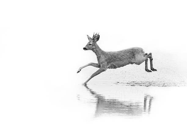 Emotion black and white photo, roe deer - capreolus capreolu running in the water. Action wildlife scene from Sweden stock photo