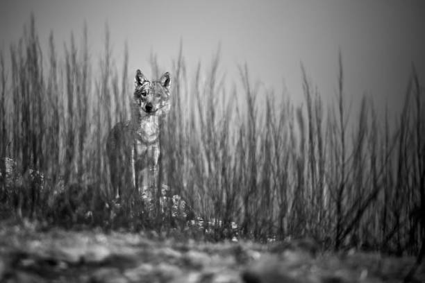 Emotion black and white photo, the wild wolf standing behind the bushes. Wildlife photography in Bulgaria. Artistic photo. stock photo