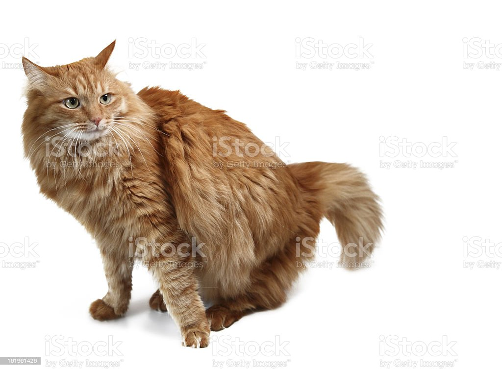 Emotional red cat isolated on white background royalty-free stock photo