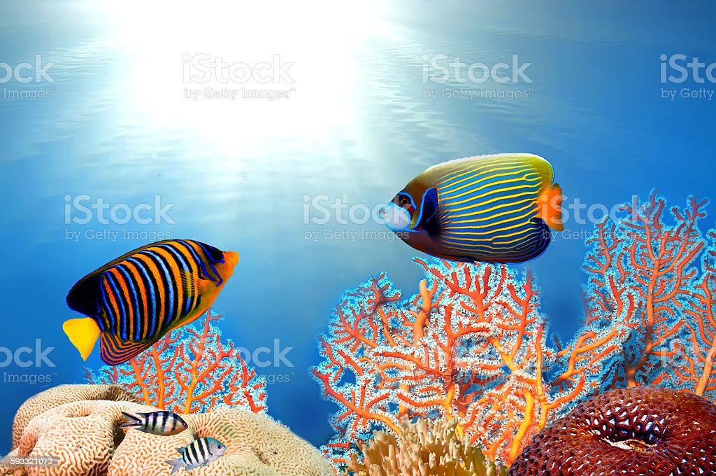 emperor angelfish (pomacanthus imperator) and Pygoplites diacant stock photo