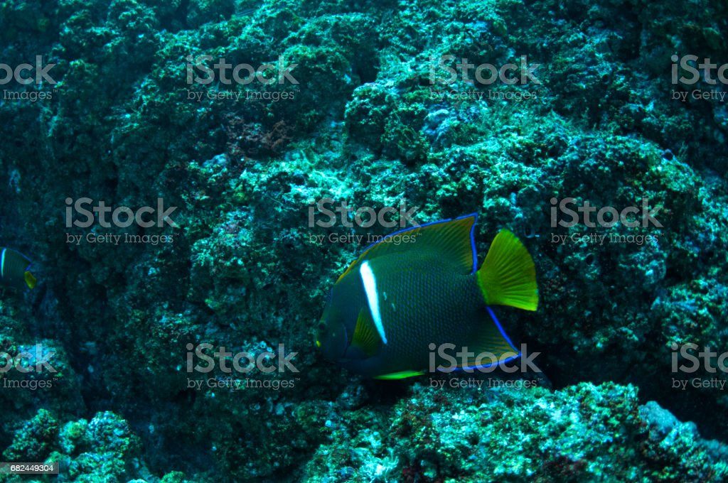 emperor angelfish in front of rocks foto de stock libre de derechos