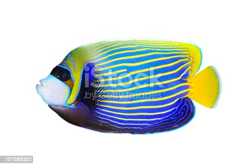 Emperor Angelfish. Isolated on white background with clipping path