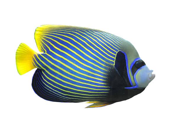 ustniczek cesarski - tropikalna ryba zdjęcia i obrazy z banku zdjęć