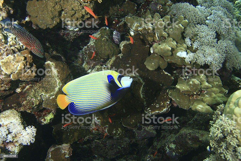 Emperor Angelfish royalty-free stock photo