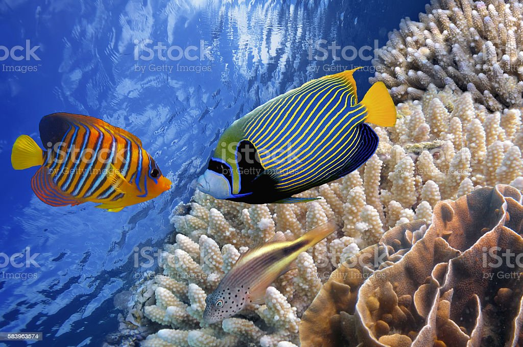 Emperor Angelfish. Underwater world stock photo