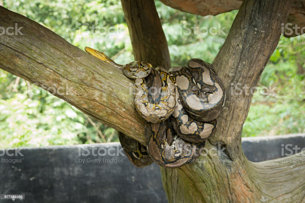 Emperor boa (Boa constrictor imperator) on a tree – zdjęcie