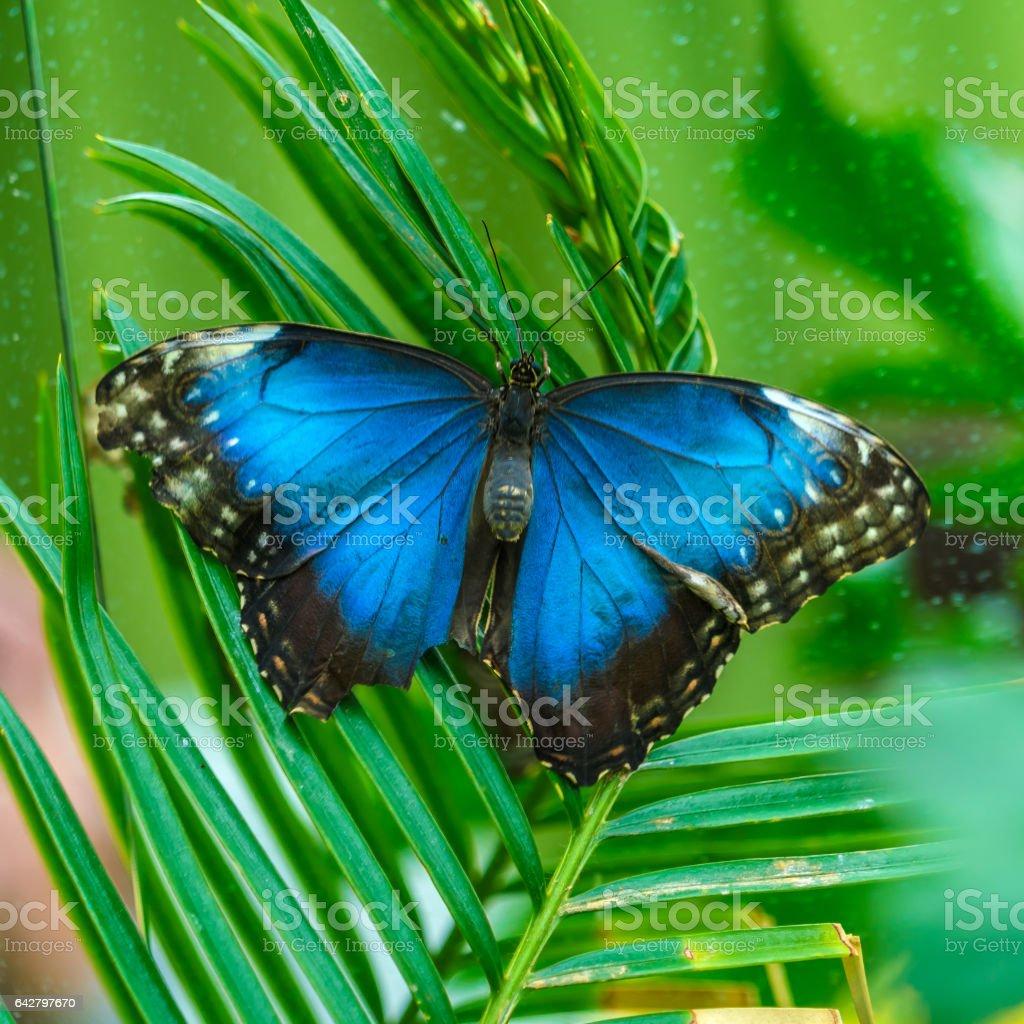 Emperor butterfly (Morpho peleides) stock photo