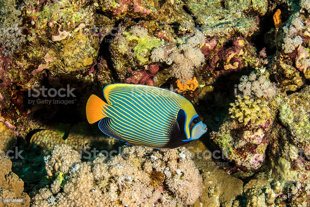 Emperor Butterflyfish stock photo