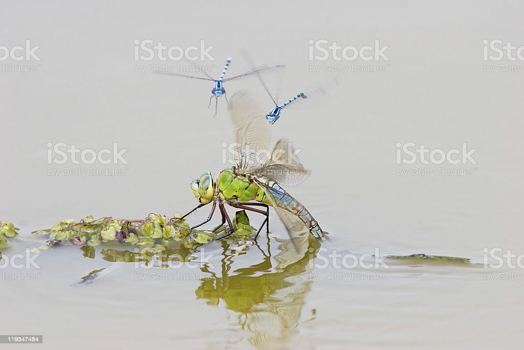 Emperor Dragonfly and Common Blue Damselflies stock photo