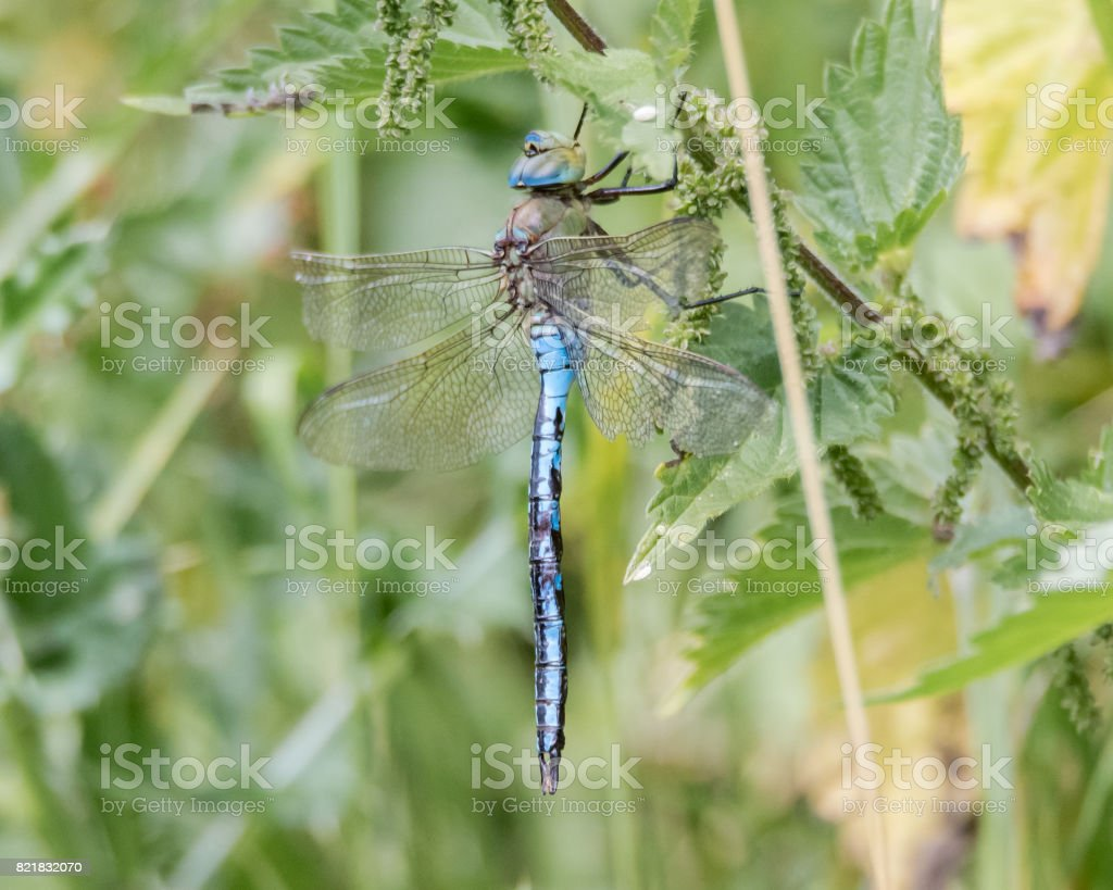 Emperor dragonfly (Anax imperator) at rest stock photo
