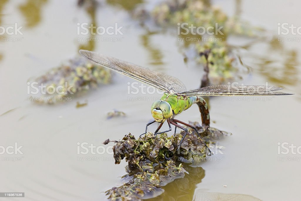 Emperor Dragonfly female laying eggs on Vegetation stock photo