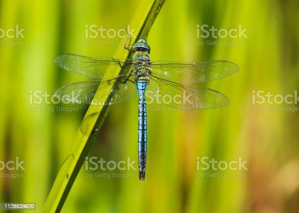 Emperor dragonfly picture id1128639620?b=1&k=6&m=1128639620&s=612x612&h=1phktrxgr sai16v4esy53u dwq4fae54cnalekdt2o=