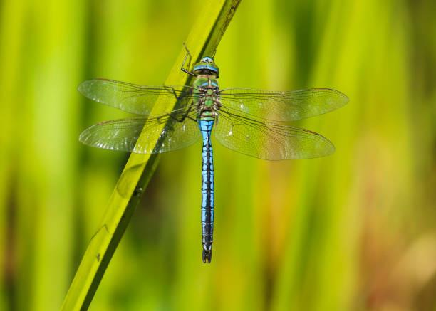 Emperor dragonfly picture id1128639620?b=1&k=6&m=1128639620&s=612x612&w=0&h=0mdibp8lk5odgf34fkchkdlfkcgnlc roapza9v nxu=