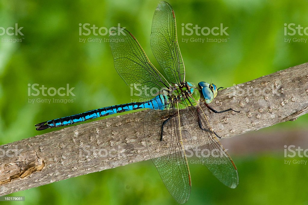 Emperor Dragonfly (male) stock photo