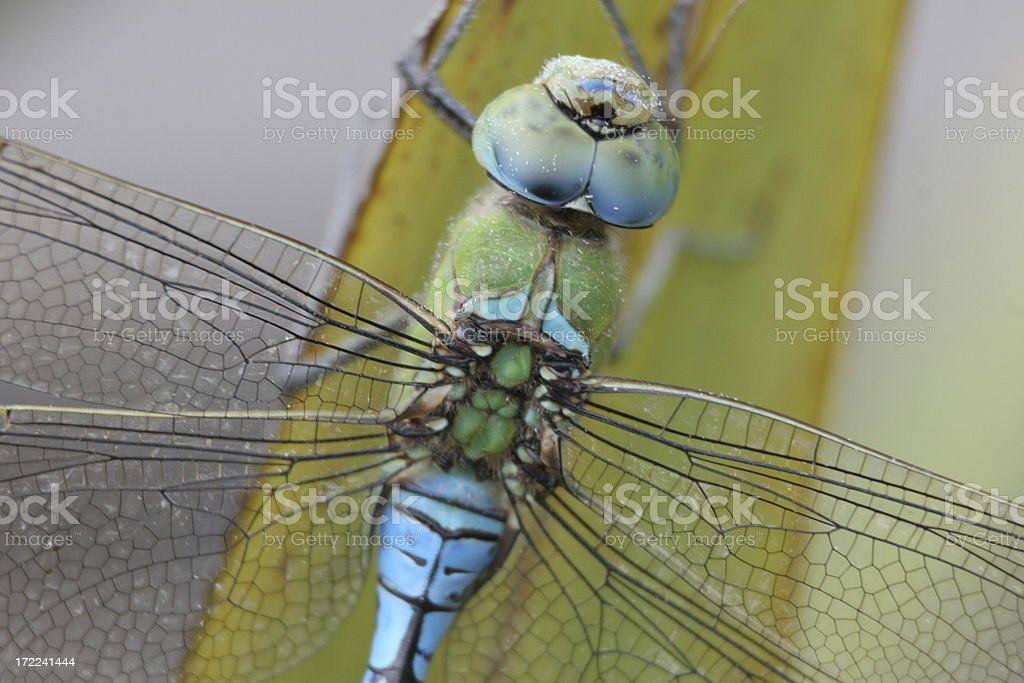 Emperor Dragonfly royalty-free stock photo