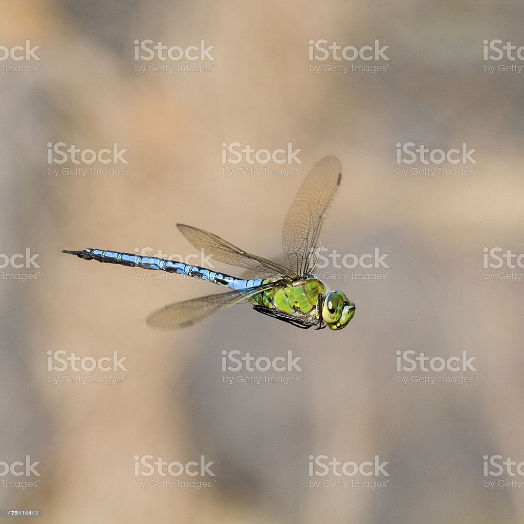 Emperor dragonfly  (Anax imperator) stock photo
