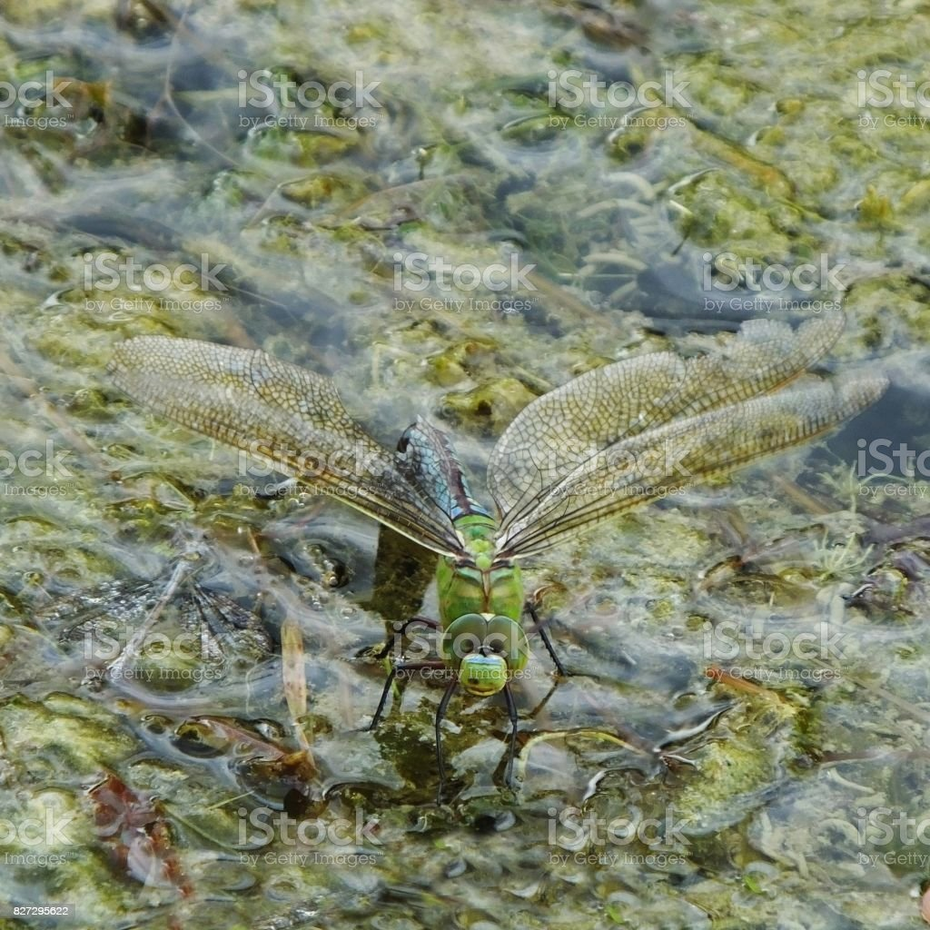 Emperor Dragonfly stock photo